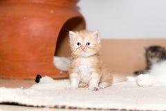 Gattino sveglio del gatto persiano Immagine Stock Libera da Diritti