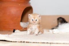 Gattino sveglio del gatto persiano Fotografie Stock