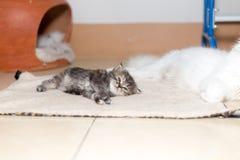 Gattino sveglio del gatto persiano Immagini Stock