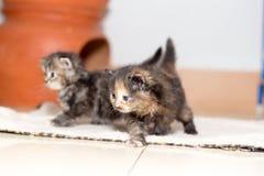 Gattino sveglio del gatto persiano Fotografia Stock