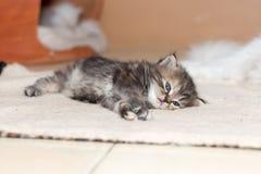Gattino sveglio del gatto persiano Immagini Stock Libere da Diritti