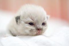 Gattino sveglio del gatto persiano sul letto Immagine Stock