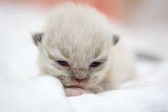 Gattino sveglio del gatto persiano sul letto Immagine Stock Libera da Diritti