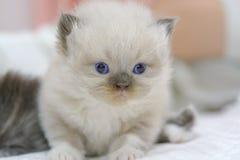 Gattino sveglio del gatto persiano sul letto Fotografia Stock