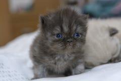 Gattino sveglio del gatto persiano sul letto Fotografie Stock