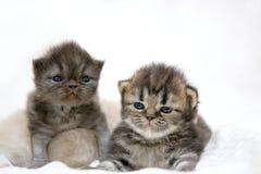 Gattino sveglio del gatto persiano sul letto Fotografia Stock Libera da Diritti