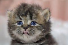 Gattino sveglio del gatto persiano sul letto Immagini Stock