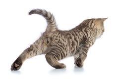 Gattino sveglio del soriano che allunga sul fondo bianco Immagini Stock Libere da Diritti