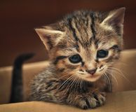Gattino sveglio del soriano nella scatola Immagine Stock