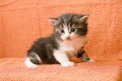 Gattino sveglio del tabby Fotografie Stock