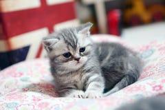 Gattino sveglio di Britannici Shorthair Fotografia Stock Libera da Diritti