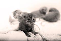 Gattino sveglio di Britannici Shorthair Fotografia Stock