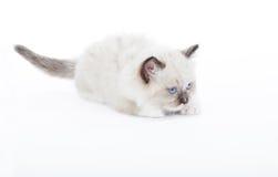 Gattino sveglio di Ragdoll Immagini Stock