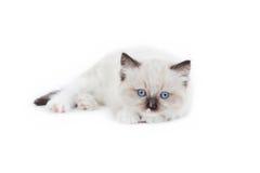 Gattino sveglio di Ragdoll Fotografia Stock Libera da Diritti