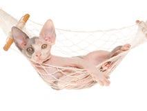 Gattino sveglio di Sphynx in mini hammock Immagini Stock Libere da Diritti