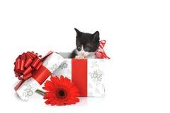 Gattino sveglio piccolo con il contenitore di regalo Fotografia Stock Libera da Diritti