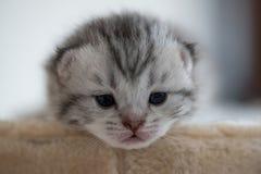 Gattino sveglio sonnolento Immagini Stock Libere da Diritti