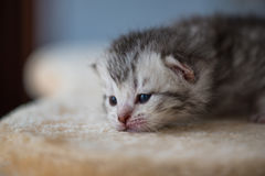 Gattino sveglio sonnolento Fotografia Stock