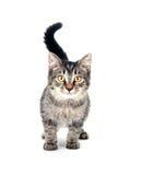Gattino sveglio su priorità bassa bianca Immagine Stock