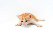 Gattino sveglio su priorità bassa bianca Fotografia Stock Libera da Diritti
