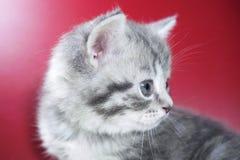 Gattino sveglio su un fondo rosso Fotografie Stock Libere da Diritti