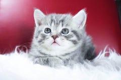 Gattino sveglio su un fondo rosso Fotografie Stock