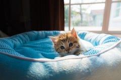 Gattino sveglio sul letto Immagini Stock