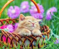 Gattino in un canestro fotografie stock libere da diritti
