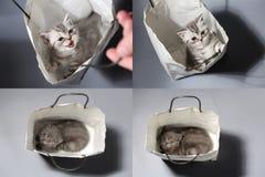 Gattino in una borsa, griglia 2x2 di Britannici Shorthair Fotografia Stock Libera da Diritti