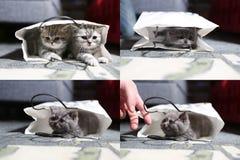 Gattino in una borsa, griglia 2x2 di Britannici Shorthair Fotografia Stock