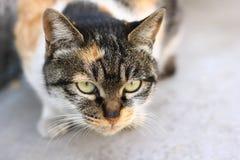 gatto Fotografia Stock Libera da Diritti