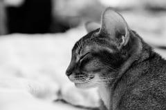 Gatto abissino Fotografia Stock Libera da Diritti