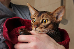 Gatto abissino bagnato in asciugamano rosso in mani del padrone Immagine Stock
