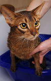 Gatto abissino che bagna Fotografie Stock Libere da Diritti