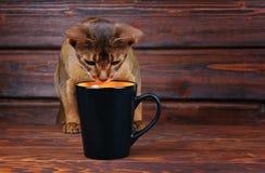 Gatto abissino che prova a bere dalla grande tazza nera Fotografie Stock