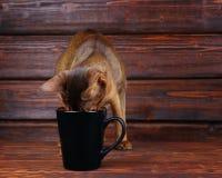 Gatto abissino che prova a bere dalla grande tazza nera Fotografia Stock