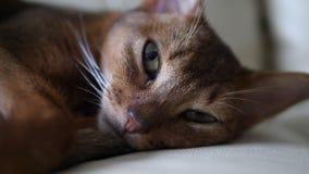 Gatto abissino che si trova sullo strato, primo piano video d archivio