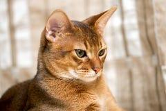 Gatto abissino di razza Immagine Stock Libera da Diritti