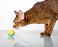 Gatto abissino di razza Fotografia Stock Libera da Diritti