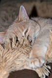 Gatto accogliente Fotografie Stock