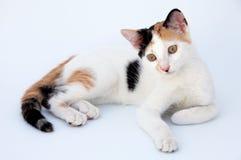 Gatto adorabile Fotografia Stock