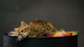 Gatto adorabile del Bengala dell'oro archivi video