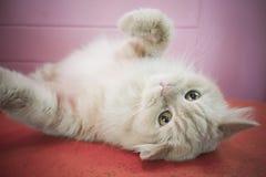 Gatto adorabile persiano, fronte lanuginoso divertente del primo piano Immagini Stock