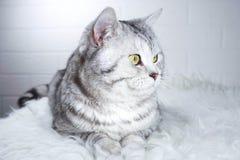 gatto adulto con gli occhi verdi Fotografia Stock