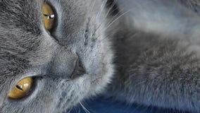 Gatto adulto di Britannici Shorthair, ritratto isolato archivi video