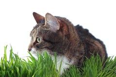 Gatto adulto in erba Fotografie Stock