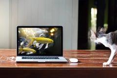 Gatto affamato che fissa l'immagine dei pesci in computer portatile con dubbio abbagliato immagini stock