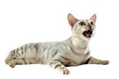 Gatto aggressivo del Bengala fotografia stock libera da diritti