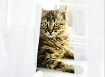Gatto alla finestra Fotografie Stock Libere da Diritti