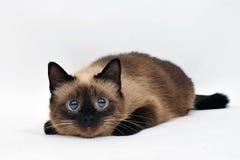 Gatto allegro del gattino isolato su bianco Immagini Stock